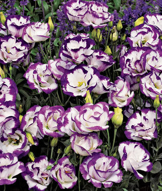 Lisianthus, Balboa Blue Rim 12 Plants, Annuals, Annual Flowers, Annual Flower Plants, Flower Plants, Flowering Annuals, Bedding Plants