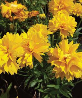 Coreopsis, Golden Glow, , large