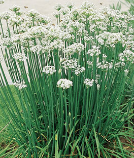 Chives, Garlic Organic, , large