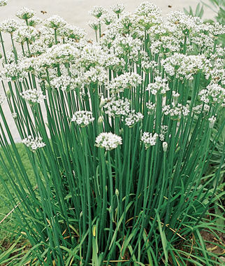 Chives, Garlic Organic , , large