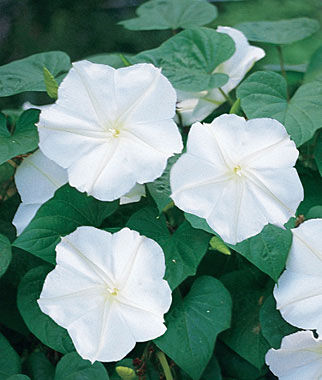 Moonflower, Giant White, , large