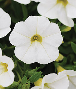 Calibrachoa, Kabloom White, , large