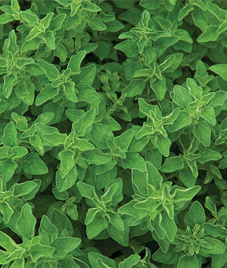 Greek Oregano Seeds And Plants Growing Herb Gardens At
