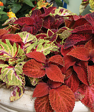 Coleus, Wizard Mixed Colors, , large