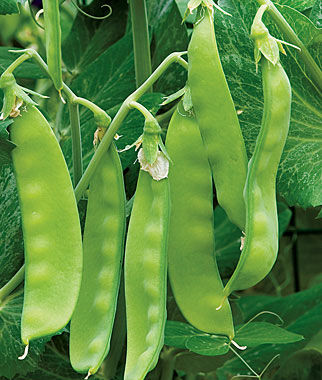 Pea, Oregon Sugar Pod II, , large