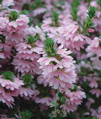 Scaevola, Topaz Pink 12 Plants Annuals, Annual Flowers, Annual Flower Plants, Flower Plants, Flowering Annuals, Bedding Plants