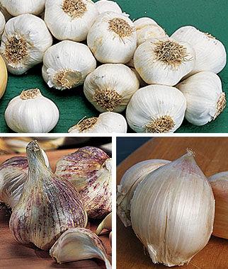 Garlic, Burpee's Best Collection 1.5 LB Garlic, Garlic Sets, Garlic Plants, Garlic bulbs, Garden Supplies, Vegetable Garden