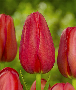 Tulip, Sky High Scarlet, , large