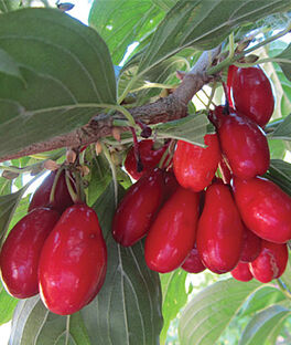 Cornelian Cherry, Red Star, , large