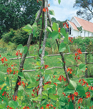 Scarlet runner pole bean seeds and plants vegetable for Indoor gardening green beans