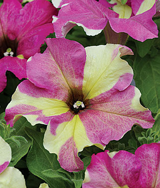 Petunia, Fancy Dress, , large