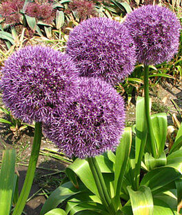 Allium, Round and Purple, , large
