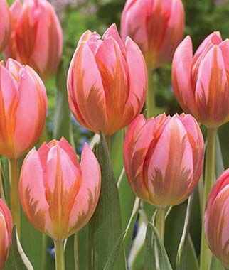Tulip, Pretty Princess, , large