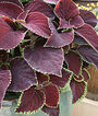 Coleus, Chocolate Mint, , large