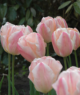 Tulip, Sugar Love, , large