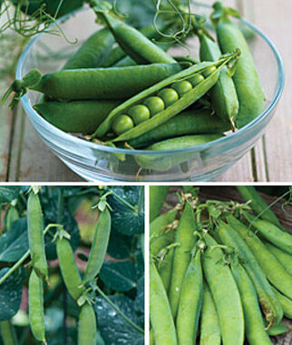 Pea, All Season Blend, , large