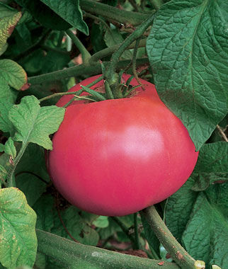 Tomato, Brandywine Pink Organic 1 Pkt. (30 seeds) Heirloom Tomatoes, Heirloom Tomato Seeds, Heirloom Seeds, Heirloom Tomato Plants, Tomato Seeds