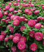 Zinnia, Zahara Double Strawberry, , large