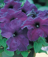 Petunia, Supercascade Blue, , large