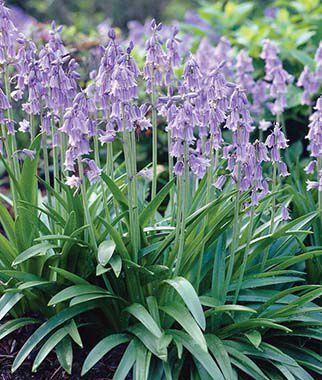Hyacinthoides, Hispanica Blue, , large