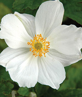 Anemone hup. Honorine Jobert, , large