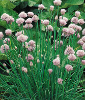 Chives, Common, , large