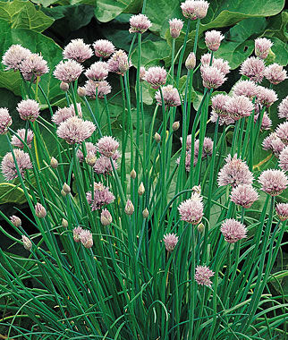 Common Chives Seeds And Plants Growing Herb Gardens At