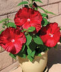 Hibiscus, Honeymoon Red F1 , , large