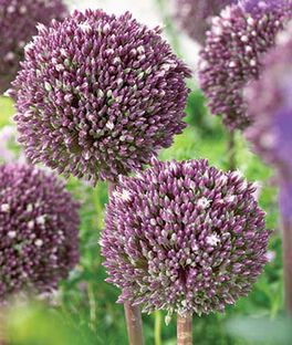Allium, Summer Drummer , , large