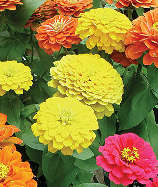 Zinnia, Border Beauty Mix Hybrid, , large