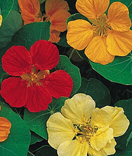 Nasturtium, Cooks Custom Mix, , large