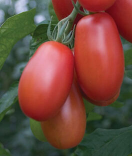 Tomato, Little Mama, , large