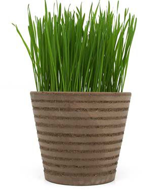 Sprout Seed, Wheatgrass, , large