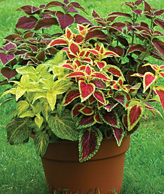 rainbow mixed colors coleus seeds and plants, annual flower garden, Beautiful flower