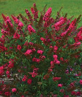 Butterfly Bush Seeds And Plants Perennial Flowers At
