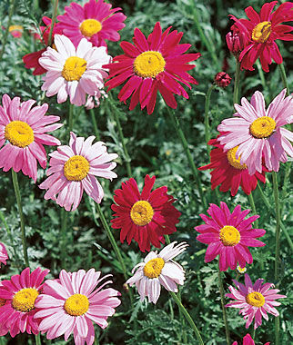 mixed colors painted daisy seeds and plants, gardening at burpee, Beautiful flower