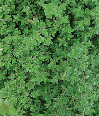 Creeping Thyme Seeds And Plants Growing Herb Gardens At