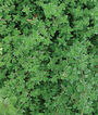 Thyme, Creeping, , large