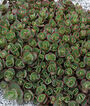 Sedum, Sunsparkler Lime Zinger PPAF, , large