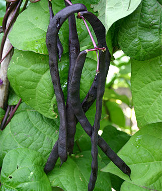 Bean, Purple Podded Pole, , large