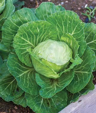 Cabbage, Earliana, , large