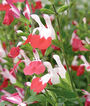Salvia, Hot Lips, , large