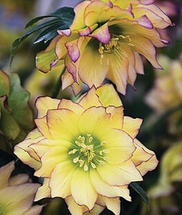 Helleborus, Wedding Party  First Dance, , large
