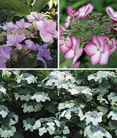 Hydrangea Specialty, Collection, , large