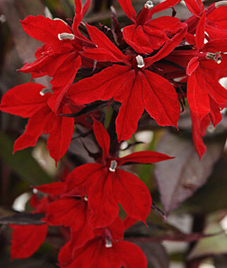 Lobelia, Vulcan Red , , large