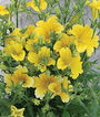 Salpiglossis, Royale Yellow, , large