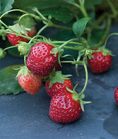 Strawberry, Mara Des Bois, , large