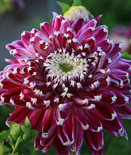 Dahlia, Dinnerplate Vancouver, , large