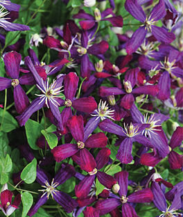 Clematis, Sweet Summer Love PPAF, , large