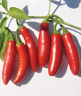 Pepper, Hot, Serrano Tampiqueno, , large